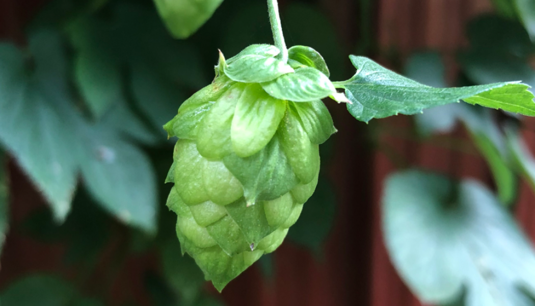 All About Hops