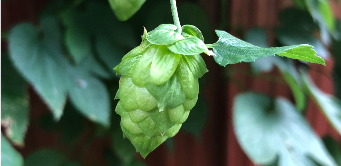 Hops! The Magic Plant that Makes Beer Delicious!