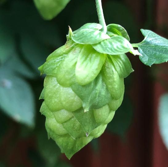 Homegrown Cascade Hops